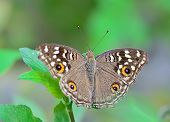 Brown Butterfly Hanging On Green Leaf ; With Soft Focus And Blur Background