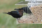 Male Cowbird On A Feeder