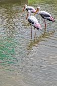 Painted Stork Fishing In The Lake