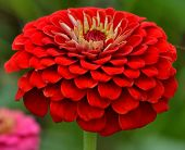 Red Flower of Charm