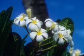 image of hawaiian flower  - Delicate Plumeria blossoms are frequently used in the making of Hawaiian leis - JPG