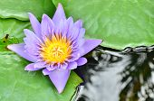 Purple Lotus In The Pool