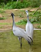 Demoiselle crane in the zoo