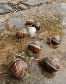 stock photo of albinos  - Eight snails and one is an albino - JPG