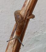 stock photo of slug  - A brown slug on a stick alone - JPG