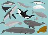 stock photo of marines  - 13 Marine Mammals in simplified flat vector cartoon - JPG