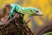 picture of monitor lizard  - Emerald Tree Monitor Varanus prasinus climbing on tree stump - JPG