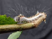 pic of larva  - A hairy larva on a plum tree stick