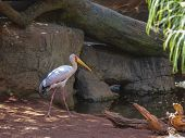 Yellow Billed Stork, (mycteria Ibis)
