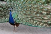 foto of indian peafowl  - The Indian peafowl or blue peafowl  - JPG