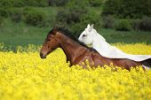 Beautifull Brown And White Horses Running In Yellow Flowers