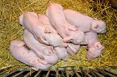 Newborn Piglets Sleeping On Straw