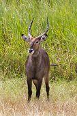 Waterbuck Standing In Grass