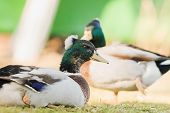 foto of crested duck  - very beautiful ducks in a village street summer - JPG