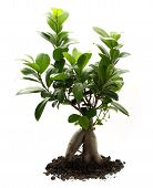 picture of ginseng  - Ficus ginseng with soil on white background - JPG
