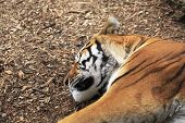 Amur tiger sleeps.