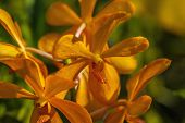 picture of orquidea  - A branch of yellow orchid in the garden - JPG