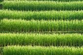 Rice Field Pattern.