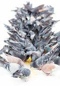 Flock of pigeons.