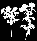 illustration with two white rose flowers isolated on black background