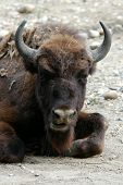 European bison (Bison bonasus).