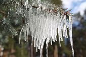 stock photo of blue spruce  - Branches of blue spruce in icicles from the rain - JPG