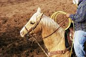 foto of brahma-bull  - A cowboy waits to compete in the roping competition - JPG