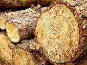 stock photo of section  - Close up of a cross section of a pine tree - JPG