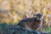 image of hare  - European hare  - JPG