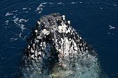 Humpback whale barnicle encrusted Australia ocean
