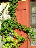 Red Shutter And Vine