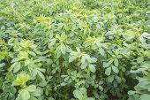 stock photo of alfalfa  - Medicago sativa  - JPG