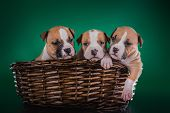 picture of american staffordshire terrier  - Puppy American Staffordshire Terrier studio portrait dog on a color background - JPG