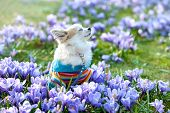 pic of chiwawa  - Chihuahua dog dreaming among purple crocus flowers gentle spring scene - JPG