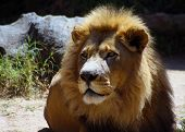 pic of african lion  - African Lion apex predator of the savanna