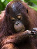 image of orangutan  - Orangutan in the jungle of Borneo - JPG
