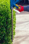 pic of electric trimmer  - Cutting a hedge with electrical hedge trimmer - JPG