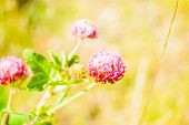 picture of red clover  - Red clover flower on summer green meadow.