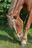 picture of brown horse  - The brown horse with a light mane has bent to the leg - JPG