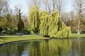 picture of weeping willow tree  - Under the weeping willow tree near the pond and by clear blue sky - JPG