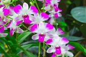 foto of orquidea  - Beautiful violet Orchids Phalaenopsis Hybrid flower in the garden - JPG