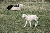 stock photo of counting sheep  - Sheep and lambs grazing on a green pasture; organic breeding concept.
