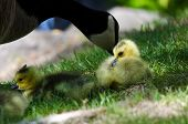 picture of mother goose  - Adorable Newborn Gosling Staying Close to Mom - JPG