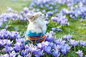 picture of chiwawa  - Chihuahua dog dreaming among purple crocus flowers gentle spring scene - JPG