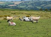 Horse And Sheeps In Dartmoor