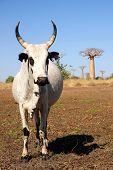 Zebu und baobabs