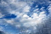 Gansos em vôo de formação e lindo céu