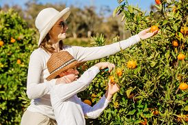 foto of mandarin orange  - Smiling happy mother and son harvesting oranges and mandarins at citrus farm - JPG