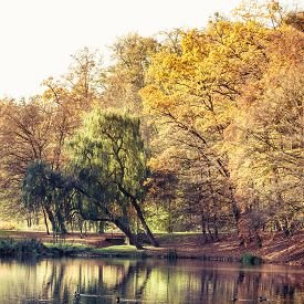 picture of weeping  - Autumnal landscape. Autumn park with pond or river and weeping willow colorful trees on the shore