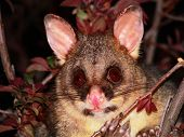 stock photo of possum  - A brush tailed possum in a tree - JPG